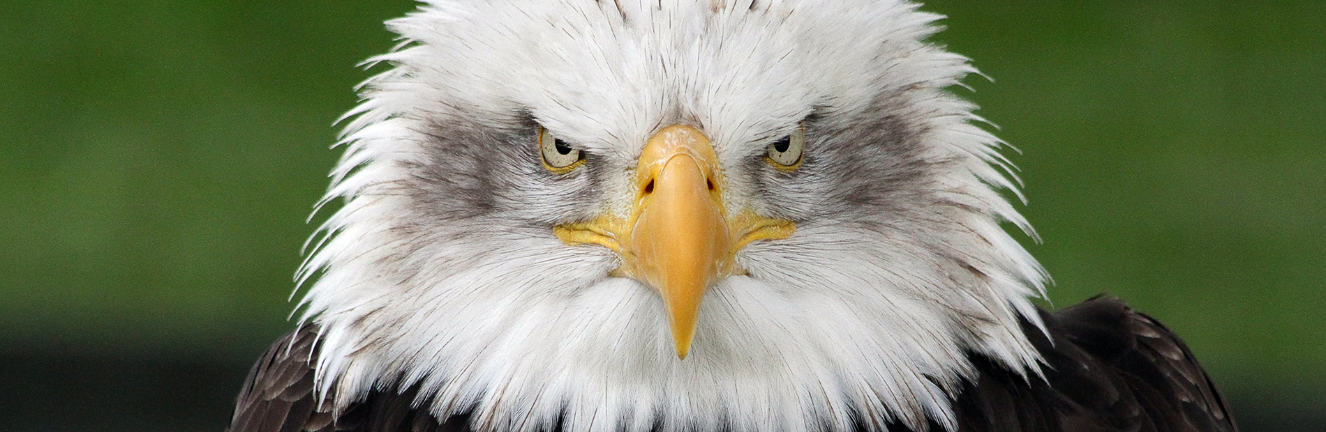 Intense Bald Eagle