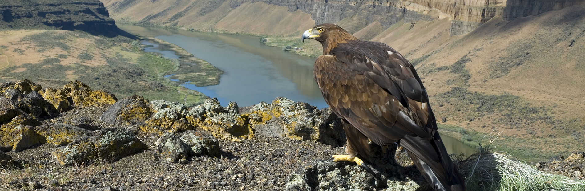 Golden Eagle Perched On Cliff