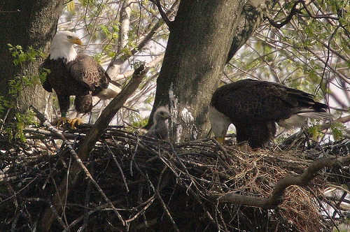 Two bald eagles watching over their nest