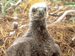 An eaglet in its nest