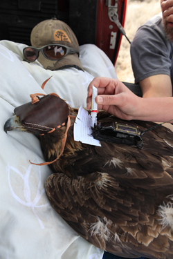 Image of research being conducted on a golden eagle