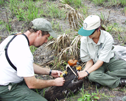 Two researchers tagging a golden eagle