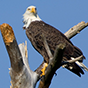 A Bald Eagle Perched On A Roof Thumbnail Image