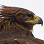 A Side Shot of a Golden Eagle