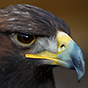 Side Shot of Bald Eagle Thumbnail Image
