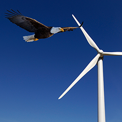 Bald Eagle Flying Near Turbines